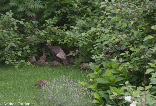 Wild Backyards : In my own backyard I saw the bushes shaking and this is why An